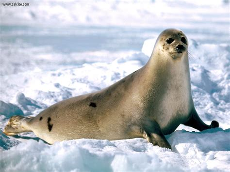 the sea l animals sunbathing harp seal desktop wallpaper nr 15331