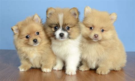 pomeranian for sale orlando puppies for sale orlando fl justpuppies net