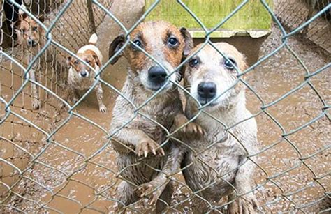 california puppy mill california state to ban sale of puppy mill animals daily mail