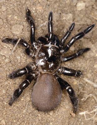 Jig001 To Survive Nature Brown trapdoor spider is natureisfuckinglit