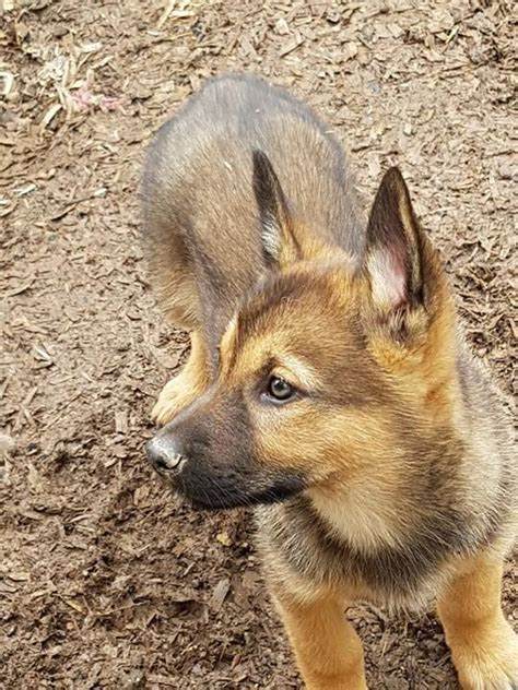 australian kelpie puppies for sale kelpie x husky puppies for sale tunbridge kent pets4homes