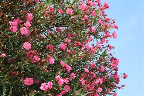 oleander standort garten oleander pflanzen tipps zu standort wasserbedarf d 252 nger