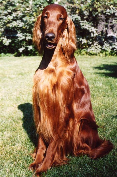 irish setter dog garrulous clan the ludicrous nature of the elderly