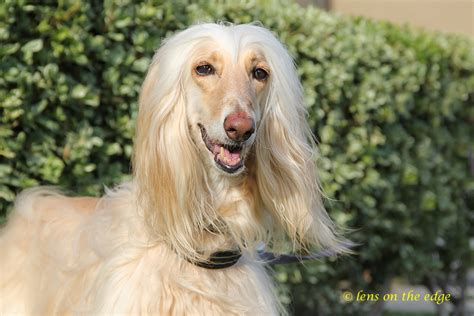 akc afghan hound puppies for sale afghan hound puppy for sale puppies for sale puppy corso puppies for