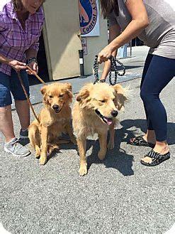 golden retriever rescue adoption ontario pet not found