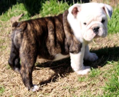 bulldog puppies for sale in ct miniature bulldog puppies for sale orlando fl 208044 petzlover
