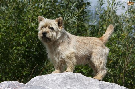 hair cuts for cairns terriers cairn terrier haircuts fade haircut