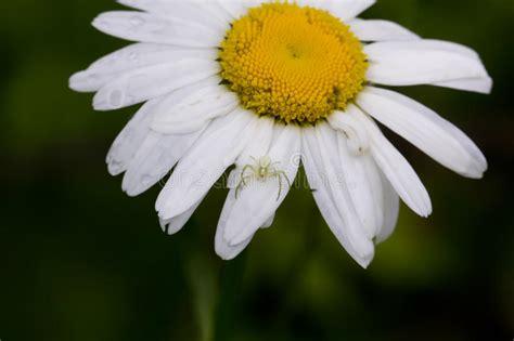 fiore della camomilla fiore della camomilla co immagine stock immagine di