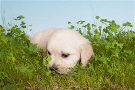why dogs eat grass dogs grass