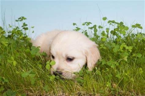 when dogs eat grass dogs grass