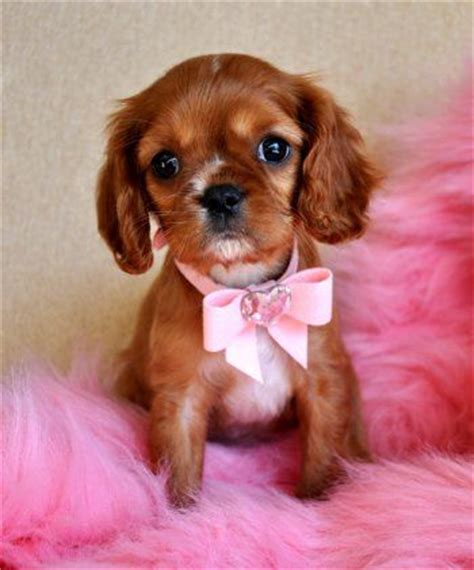 teacup cavalier king charles spaniel puppies for sale king charles spaniel puppy baby princess dandyridge brandywine puppies and dogs
