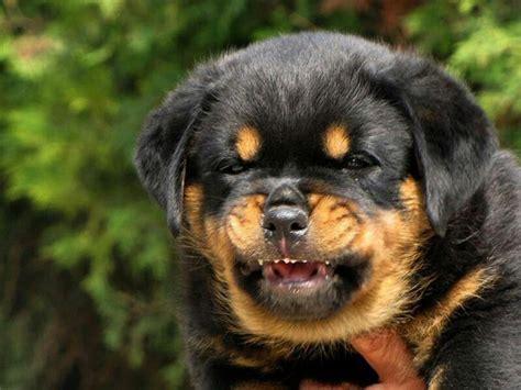 rottweiler growls when petted rottweiler puppy is already a guardian sweet rottweiler puppies