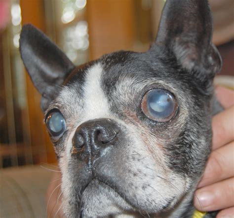 cataracts in dogs cataracts ibostonterrier ibostonterrier