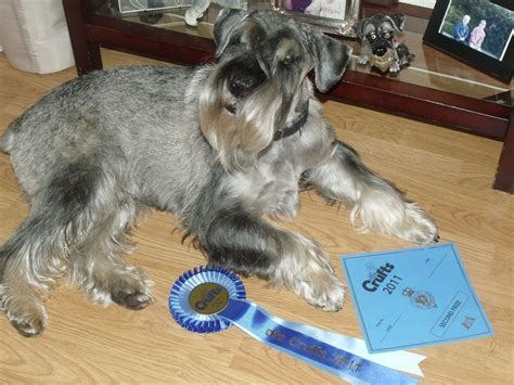 schnauzer puppies for sale in standard schnauzer puppies for sale lochgelly fife pets4homes