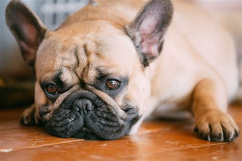 tramadol dogs tramadol for dogs uses and side effects american kennel club