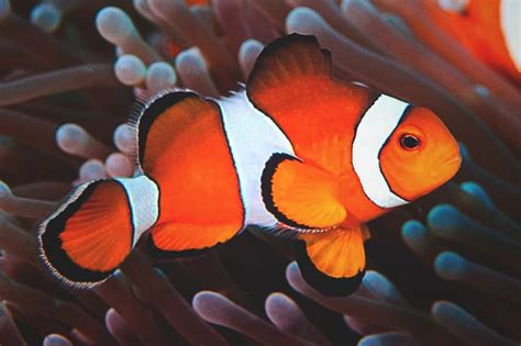 la chachipedia el pez payaso apexwallpaperscom 191 qu 233 come el pez payaso