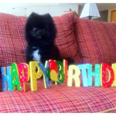happy birthday pomeranian pomeranian birthday on pomeranians happy birthday and birthdays