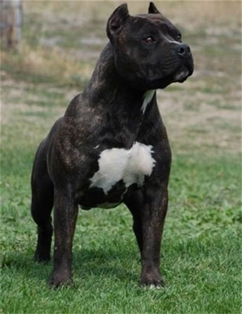 amstaff puppy american staffordshire terrier breed information and pictures