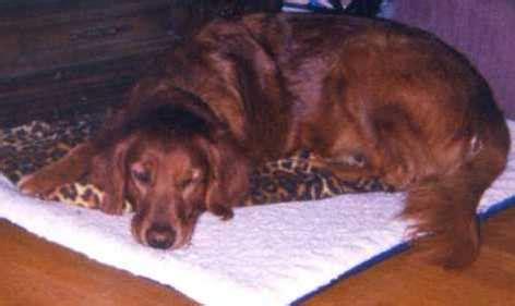 mahogany golden retriever puppies mahogany golden retriever history