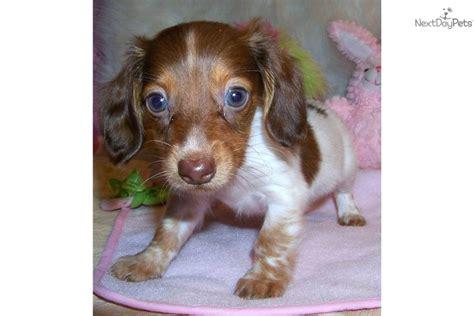 free dachshund puppies in free dapple dachshund puppies breeds picture