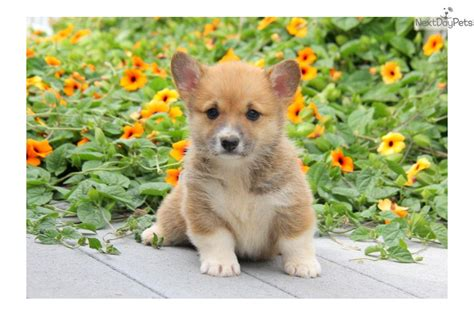 cardigan corgi puppies for sale in pa corgi cardigan puppy for sale near lancaster pennsylvania 289a80ce 66c1