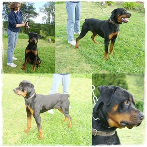 rottweiler rescue colorado rottweiler rescue adoption help and advice details can be posted on our website