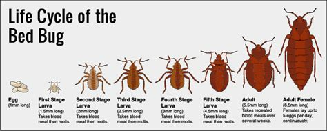 can bed bugs live outside pin bed bugs after a blood meal on pinterest