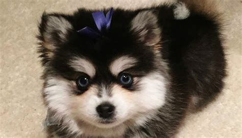 pomskies puppies different ways to promote your brand on snapchat