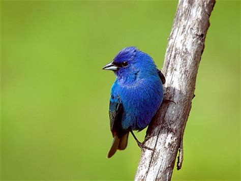How To Attract Indigo Buntings To Your Backyard by Indigo Bunting Identification All About Birds Cornell