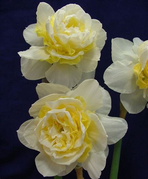 Bra Color Flower Autumn 1285 best images about flowers daffodils narcissus on