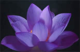 Purple Lotus Flower Meaning Flowers Flowers