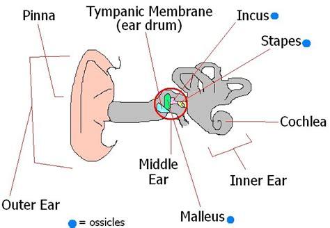 outer ear diagram labeled deylah s muffiny anatomy basic ear anatomy worksheet