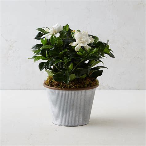 gardenia small stripe pot terrain