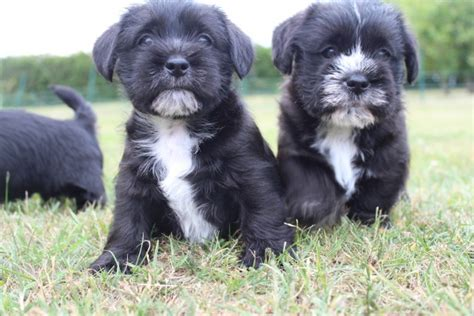 shih tzu cross schnauzer shih tzu x mini schnauzer licensed breeder bury st edmunds suffolk pets4homes