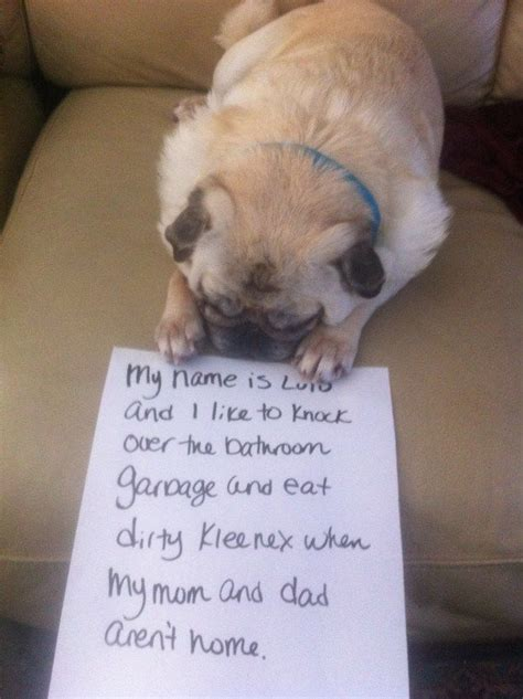what do pug puppies eat 1000 images about pug shaming on the mud and shaming