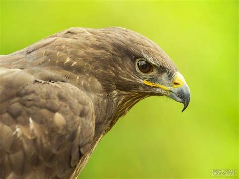 our birds pembrokeshire falconry bird of prey flying