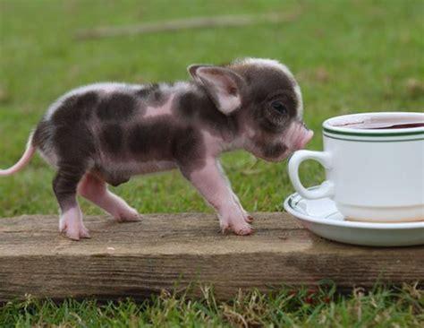 PantherKut ? Raising Baby Pigs