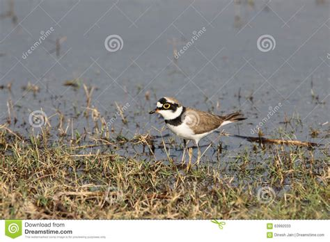 little ringed plover stock photo image 63992033