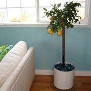 concimazione limoni in vaso concime piante da frutto