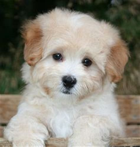 how much are maltipoo puppies 1000 images about multipoo teddy pup malteses poodle on