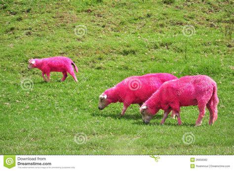 Sheep Pink pink sheep stock photo image of zealand colored pink 26656082