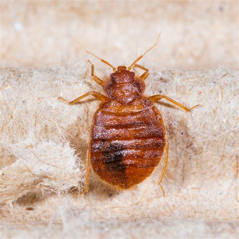 professional bed bug exterminators reasons to hire a professional exterminator to get rid of