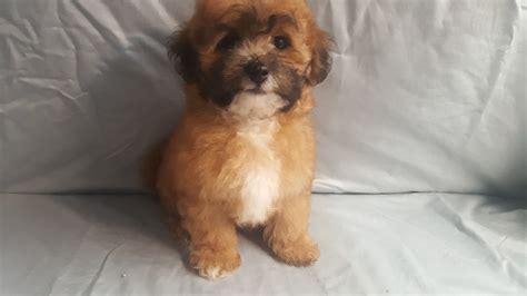 shih poo puppies for sale shih poo puppies for sale canton oh 227735 petzlover