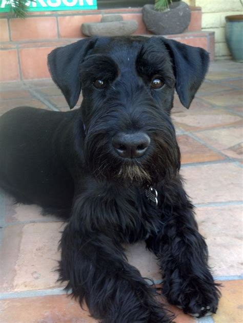 standard schnauzer puppies best 25 standard schnauzer ideas on mini schnauzer schnauzer and