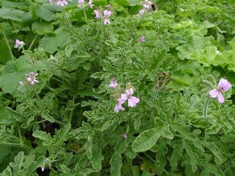 best scented geranium pelargonium rober s lemon scented geranium rober s lemon
