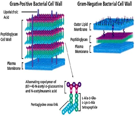 structure   bacterial cell walls