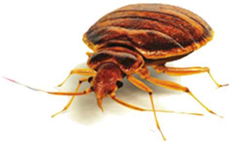 do bed bugs suck blood akkad pest control pest control dubai sharaja abu dhabi