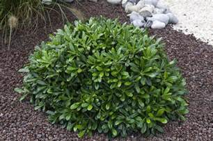 Large Flowering Evergreen Shrubs - pittosporum tobira nana nanum kohehu evergreen japanese mock orange