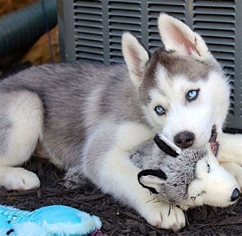 husky puppy toys top 10 things huskies don t like