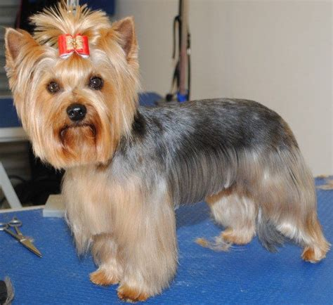 haircuts for poodle terrier mix after the haircut how beautiful my yorkie world